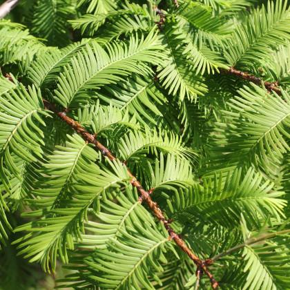 Metasekvoj čínská - Metasequoia glyptostroboides - prodej semen - 10 ks
