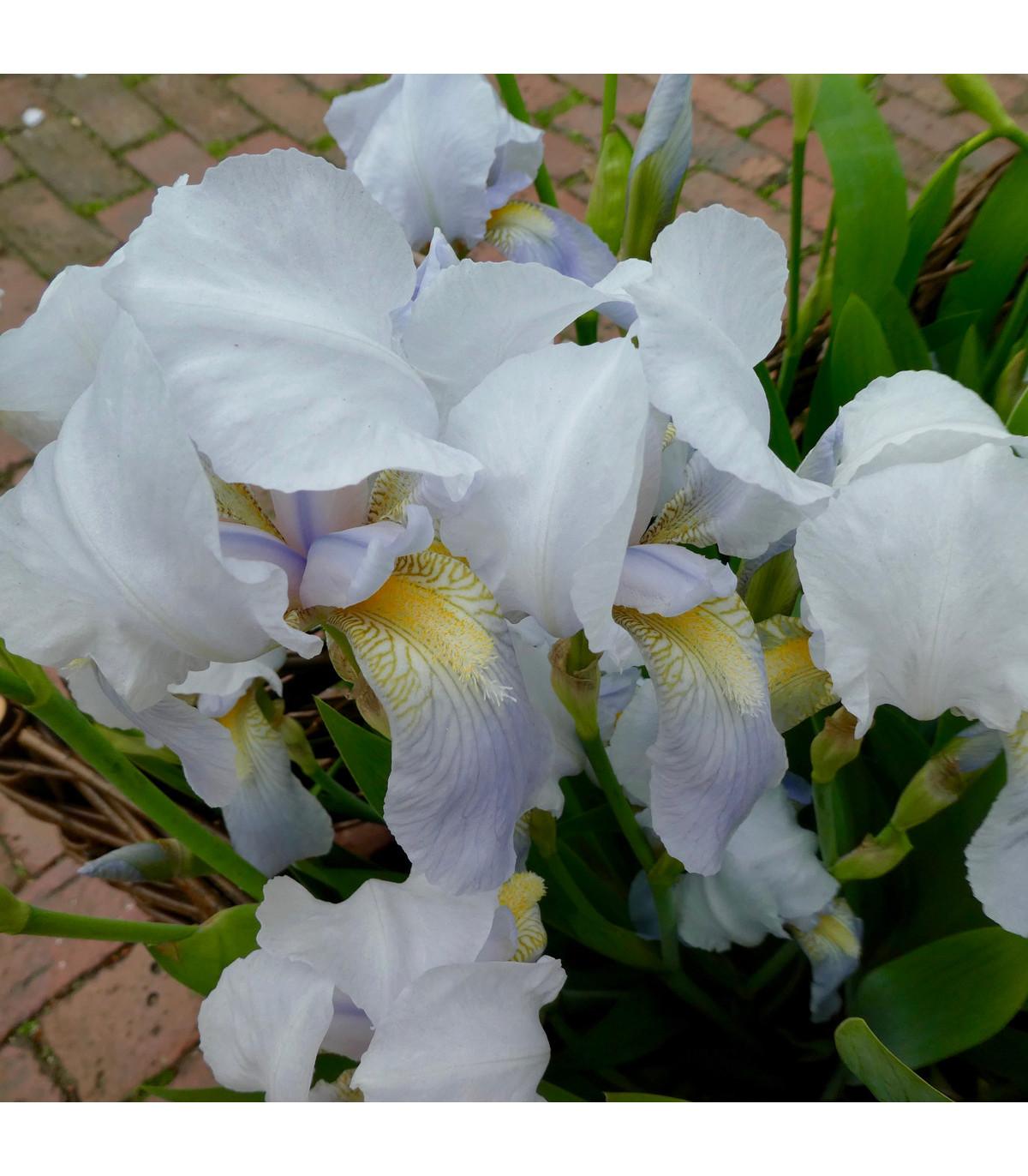 Kosatec síťkovaný bílý - Iris reticulata - cibule kosatců - 3 ks