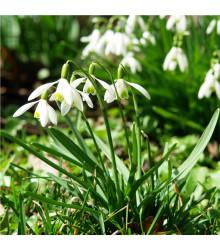More about Sněženka podsněžník - Galanthus nivalis - cibule sněženek - 3 ks