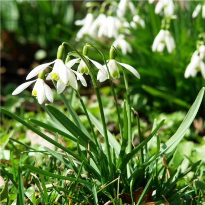 Sněženka podsněžník - Galanthus nivalis - cibule sněženek - 3 ks