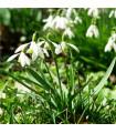 Sněženka podsněžník - Galanthus nivalis - holandské cibuloviny - 3 ks