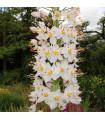 Liliochvostec úzkolistý Robustus - Eremurus - kořenové hlízy - 1 ks