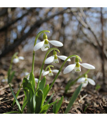 Sněženka Elwésova - Galanthus elwesii - cibule sněženek - 3 ks