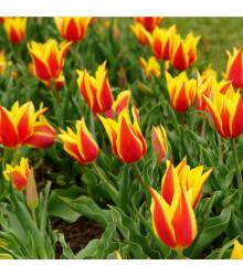 Tulipán Aladdin - prodej cibulovin - holandské tulipány - 3 ks
