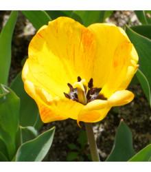 Tulipán Golden Apeldoorn - Tulipa - cibule tulipánů - 3 ks