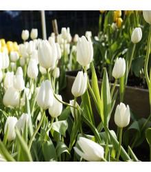 Tulipán Hakuun - Tulipa - holandské cibule tulipánů - 3 ks