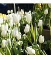 Tulipán Hakuun cibule - cibuloviny z Holandska - 3 ks