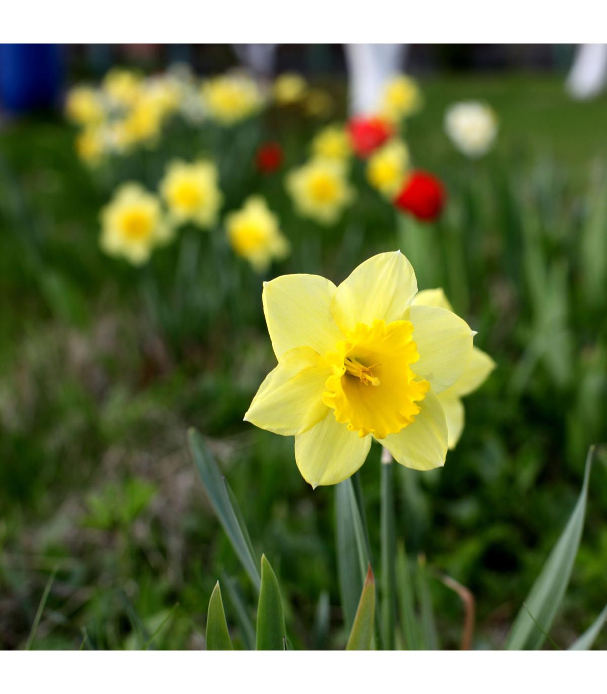 Narcis Barenwyn - Narcissus - cibule narcisů - 3 ks