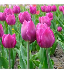 Tulipán Purple Flag - Tulipa - holandské cibule tulipánů - 3 ks