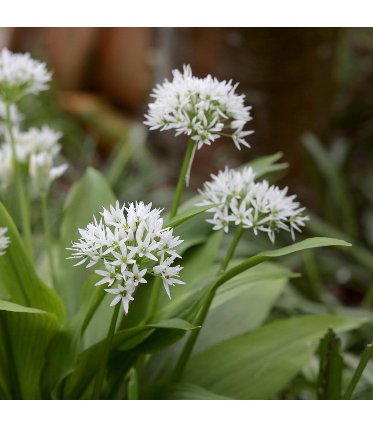 Česnek medvědí - Allium ursinum - cibule medvědího česneku - 3 ks