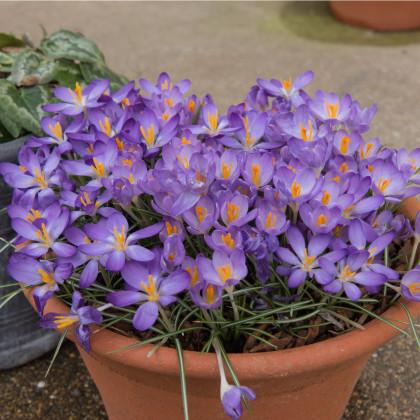 Krokus Barrs Purple - Crocus Tommasinianus - hlízy krokusů - 3 ks