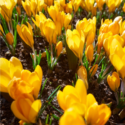 Krokus Romance žlutý - Crocus Chrysanthus - hlízy krokusů - 3 ks