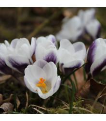 Krokus Prins Claus - Crocus Chrysanthus - cibule krokusů - 3 ks