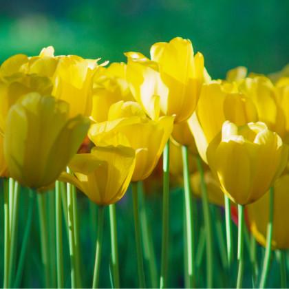 Tulipán Monte Carlo - Tulipa - cibule tulipánů - 3 ks