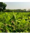 Podzemnice olejná - Arašíd - Arachis hypogaea - prodej semen 3 ks
