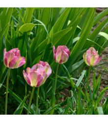 Tulipán Groenland - Tulipa - cibule tulipánů - 3 ks