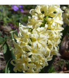 More about Hyacint City of Harleem - Hyacinthus - cibule hyacintů - 1 ks