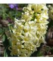 Hyacint - City of Harleem - podzimní cibuloviny - 3 ks