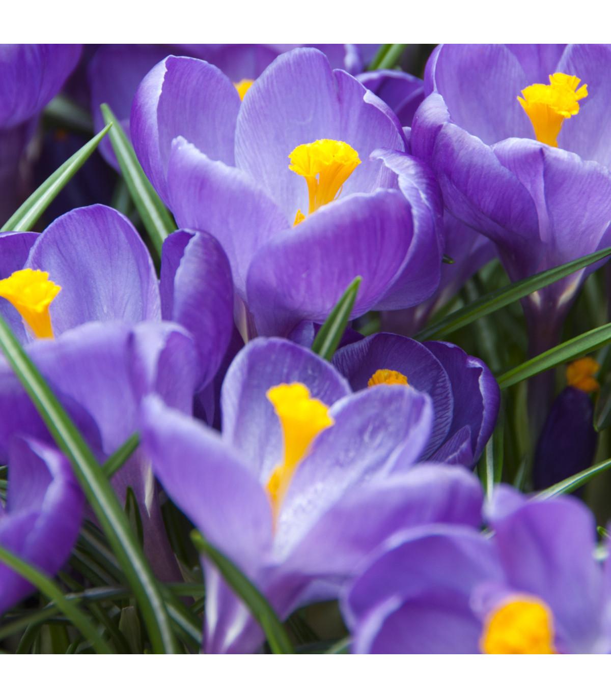 Krokus Flower Record - Crocus Vernus - hlízy krokusů - 3 ks