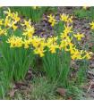 Narcis February gold - prodej cibulovin - narcisy - 4 ks