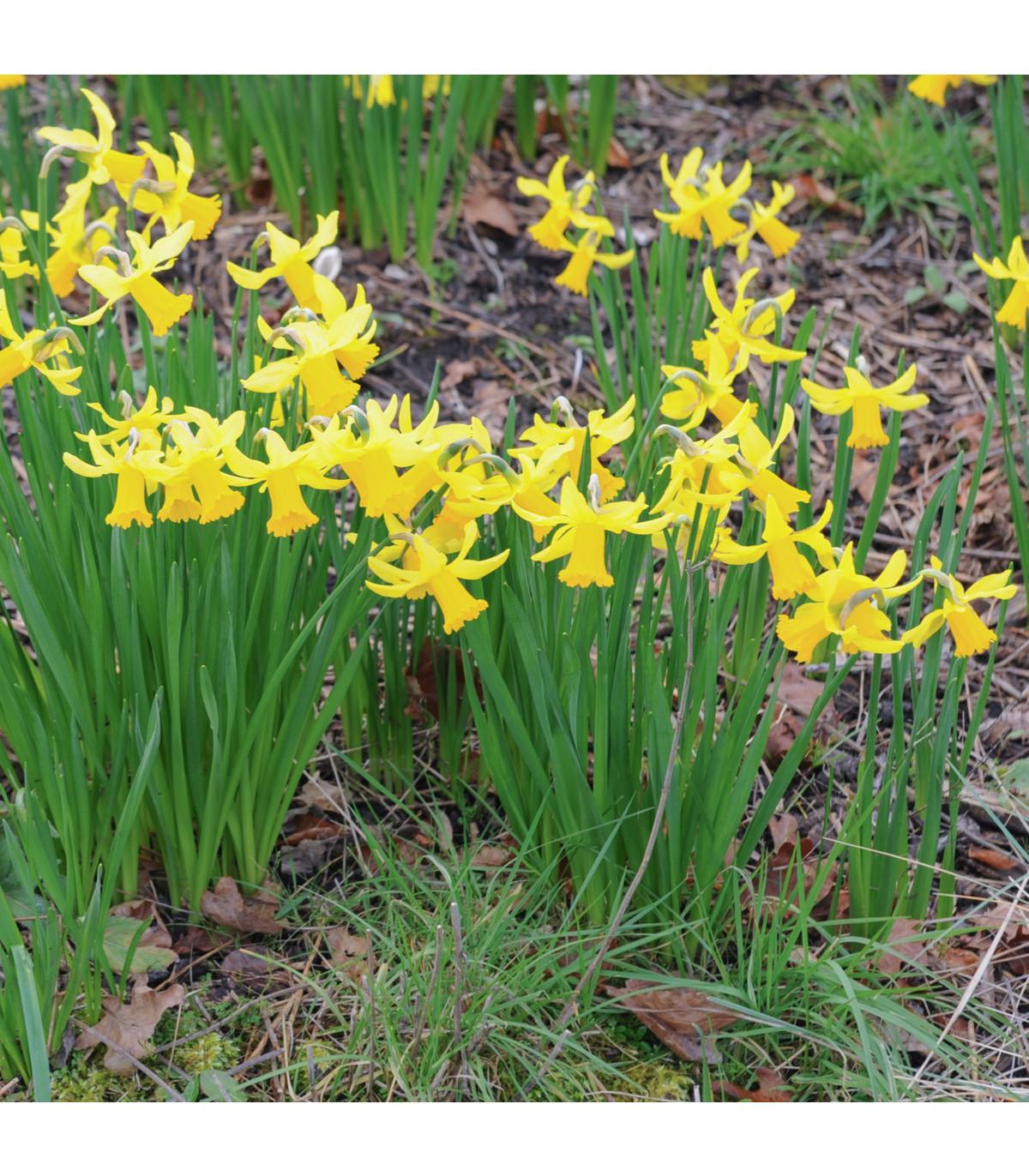 Narcis February gold - Narcissus - cibule narcisů - 3 ks