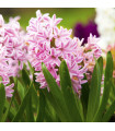 Hyacint Fondant - prodej cibulovin - hyacinty - 3 ks