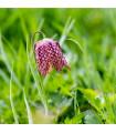 Řebčík kostkovaný - Fritillaria meleagris - směs - holandské cibuloviny - 8 ks