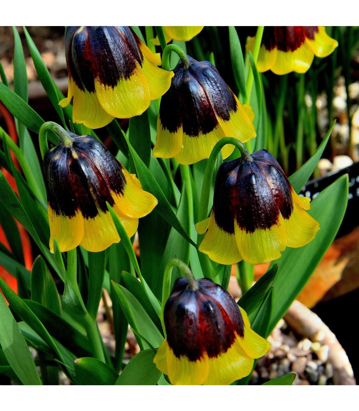 Řebčík Uva-vulpis - Fritillaria - cibule řebčíku - 2 ks