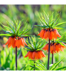 Řebčík královský - Fritillaria imperialis aurora - prodej cibulovin - 1 ks