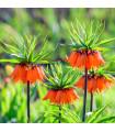 Řebčík královksý - Fritillaria imperialis aurora - prodej cibulovin - 1 ks
