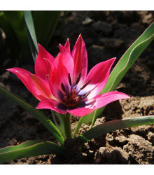Tulipán Little Beauty - Tulipa - holandské cibule tulipánů - 3 ks