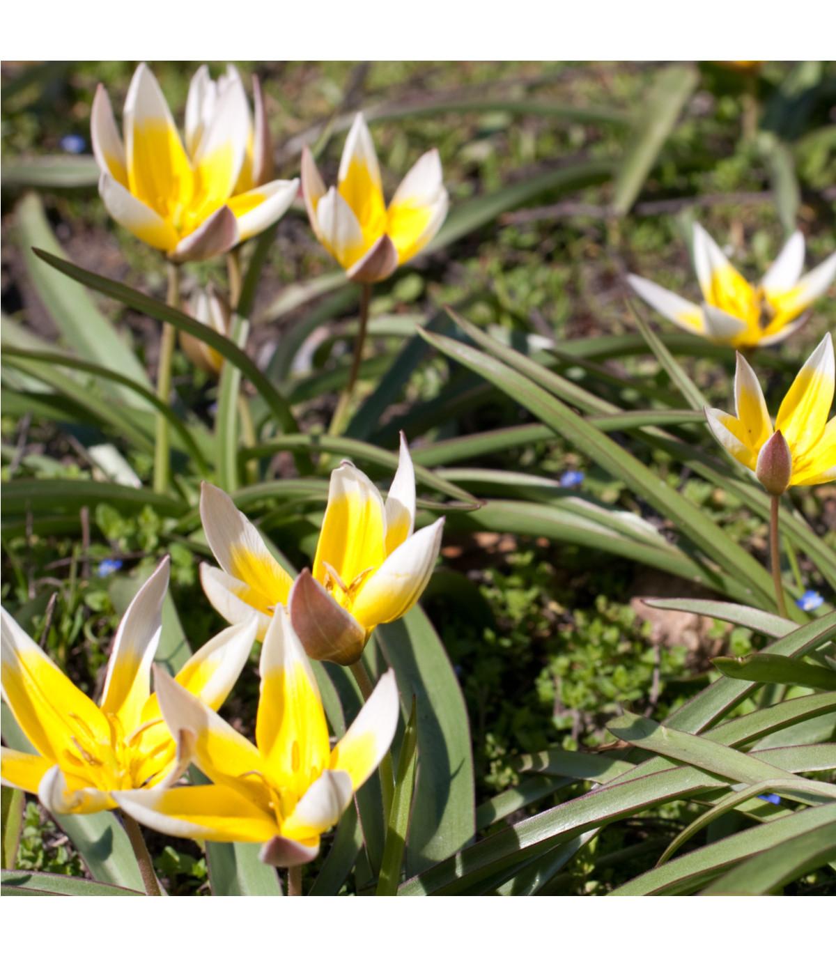 Tulipán pozdní Tarda - Tulipa - cibule tulipánů - 3 ks