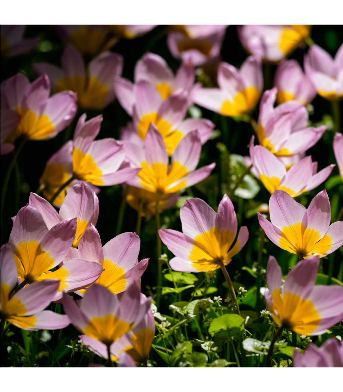 Tulipán skalní Bakerii Lilac Wonder - Tulipa saxatilis - cibule tulipánů - 3 ks