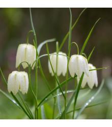 Řebčík bílý - Fritillaria meleagris - cibule řebčíku - 3 ks