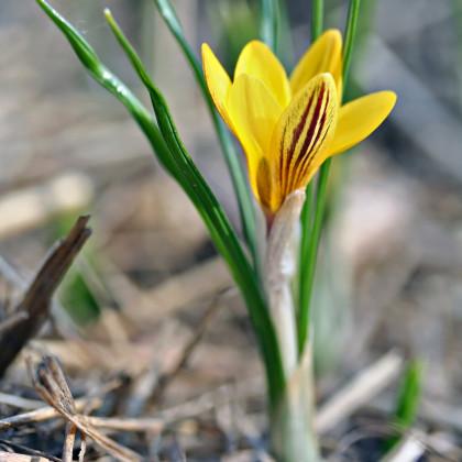 Krokus zlatý Fuscotinctus - Crocus Fuscontinctus - hlízy krokusů - 3 ks