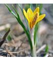 Krokus podzimní zlatý Fuscotinctus - podzimní krokusy prodej - 3 ks