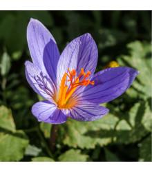 Krokus podzimní Speciosus - Crocus Specious - cibule krokusů - 3 ks