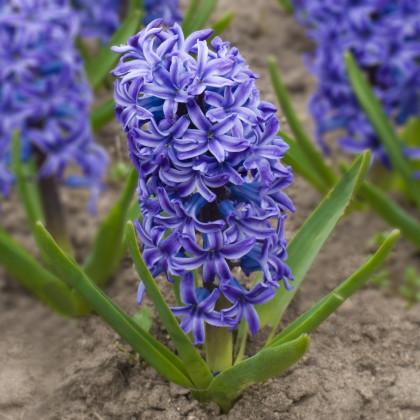 Hyacint modrý Delft Blue - Hyacinthus - cibule hyacintu - 1 ks