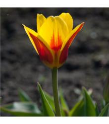 Tulipán nízký Stresa - Tulipa - holandské cibule tulipánů - 3 ks