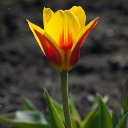 Tulipán nízký Stresa - Tulipa - cibule tulipánů - 3 ks