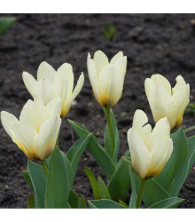 Tulipán Concerto - Tulipa - holandské cibule tulipánů - 3 ks