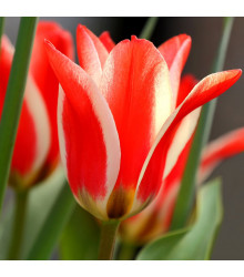 Tulipán Pinocchio - Tulipa - cibule tulipánů - 3 ks