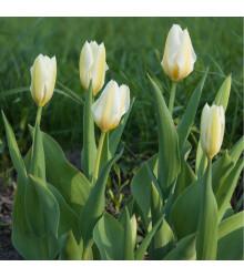 Tulipán White Purissima - Tulipa - holandské cibule tulipánů - 3 ks