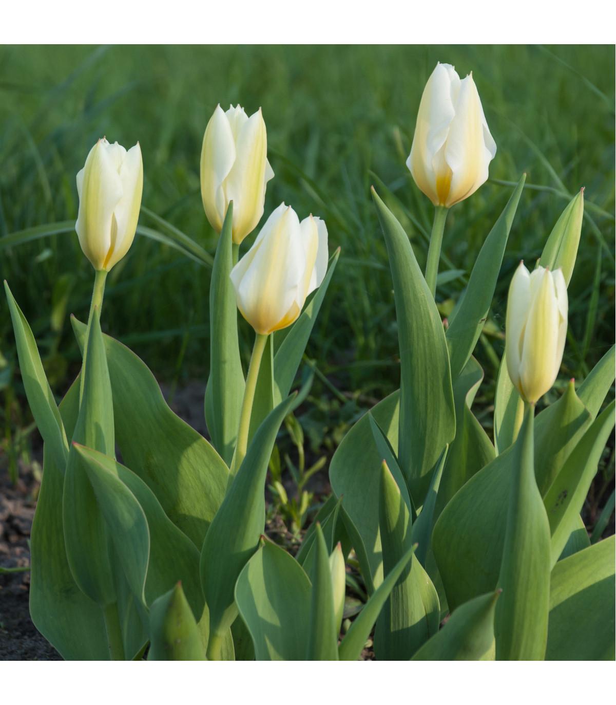 Tulipán White Purissima - Tulipa - cibule tulipánů - 3 ks