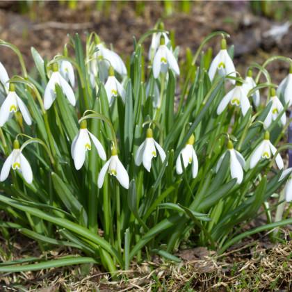 Sněženka Woronova - Galanthus woronowii - cibule sněženek - 3 ks