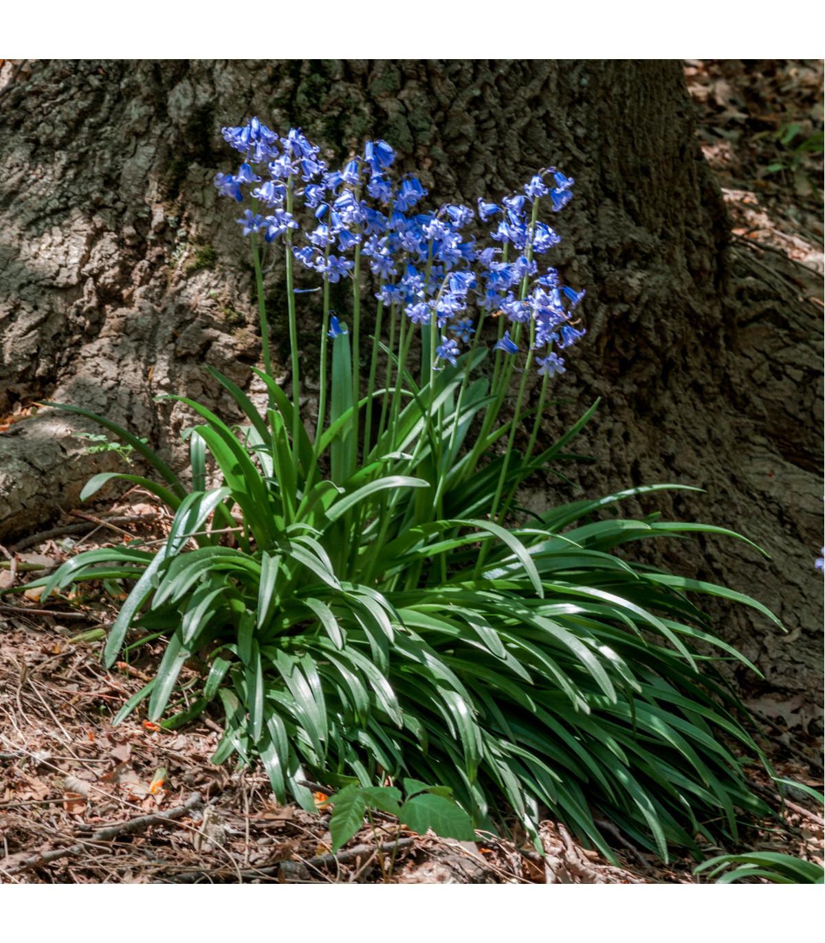 Hyacintek španělský - Hyacinthoides hispanica - holandské cibulky - 2 ks