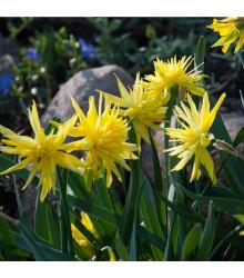 Mininarcis Rip van Winkle - Narcissus - cibule narcisů - 3 ks