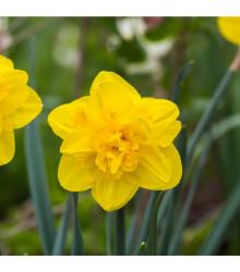 Narcis - Tamara - prodej cibulovin - 3 ks