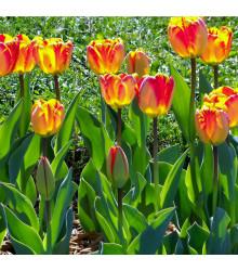 Tulipán Banja Luka - Tulipa - holandské cibule tulipánů - 3 ks
