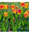 Tulipán Banja Luka - prodej cibulovin - holandské tulipány - 3 ks